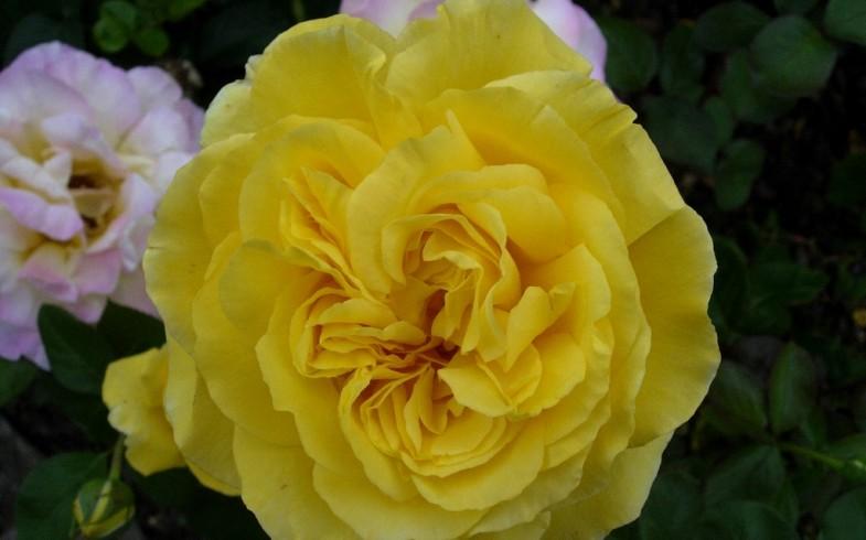 Zabezpiecz róże na zimę!