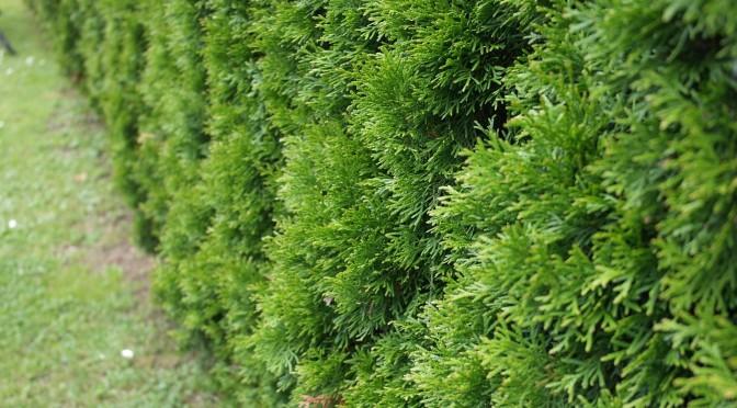 Tuje – naturalny, zielony żywopłot. Korzyści i zasady sadzenia.