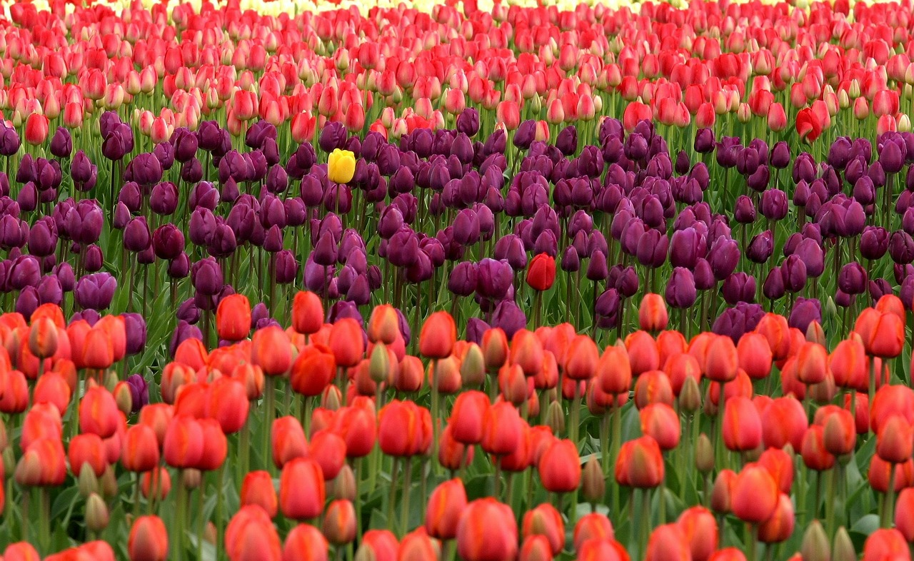Tulipany – jak i kiedy je sadzić?