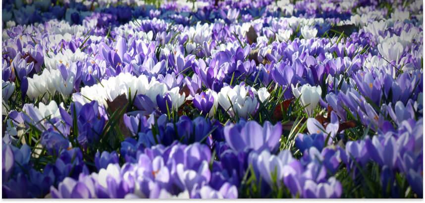 Krokusy - wiosenne kwiaty w ogrodzie