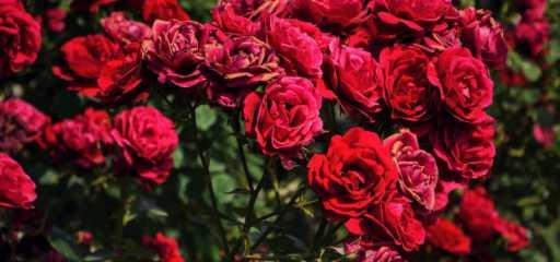 jak pielęgnować róże
