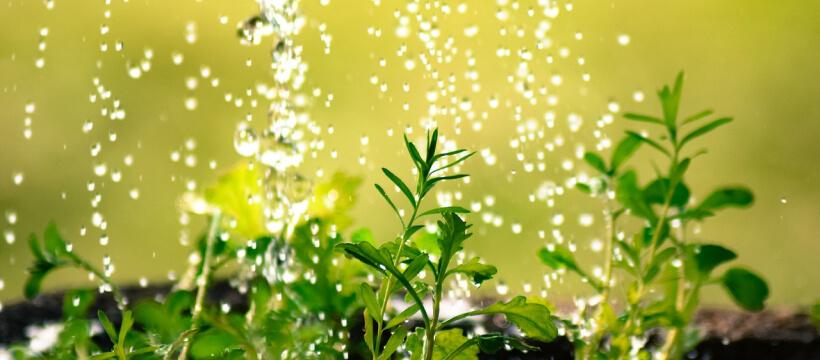 Nawadnianie ogrodu - uważaj na liście