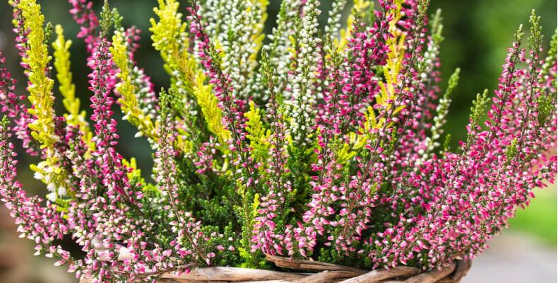 Jak sadzić wrzosy w doniczce