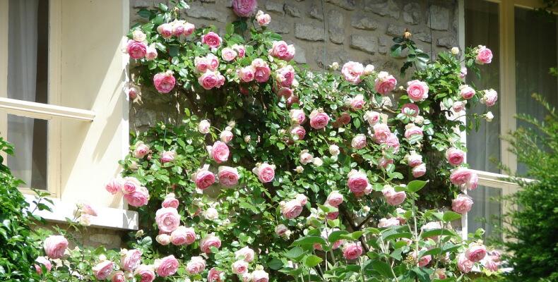 Róże sadzenie jesienią