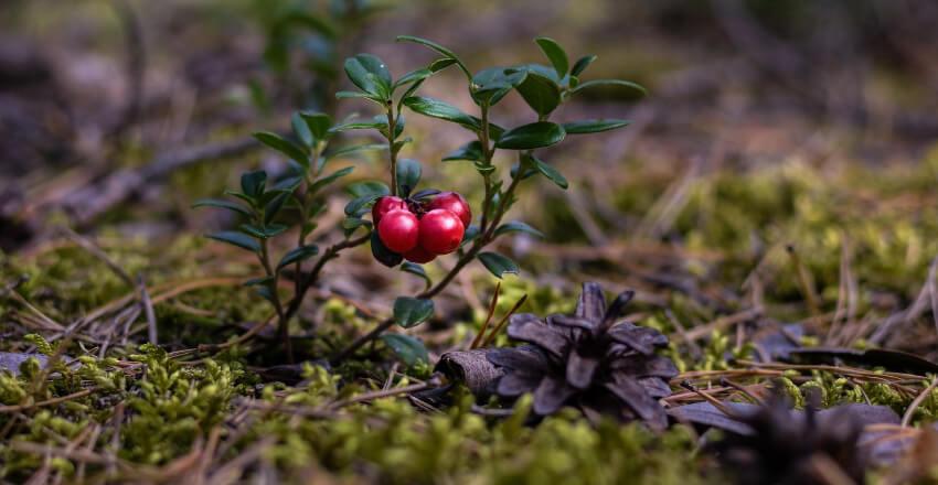 Rośliny do ogrody skandynawskiego