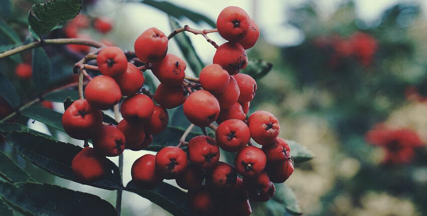 Ogród na jesień - jarzębina