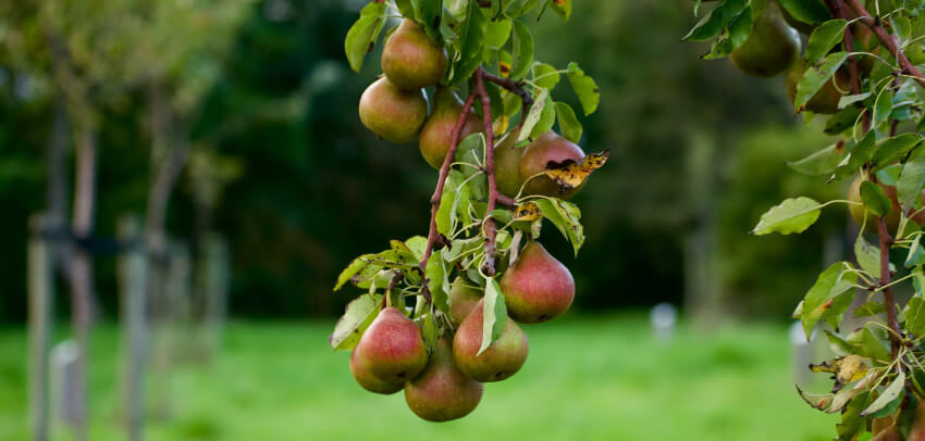 Jakie wybrać drzewa owocowe do ogrodu