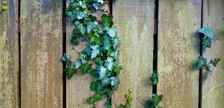 Bluszcz - rośliny trujące dla zwierząt