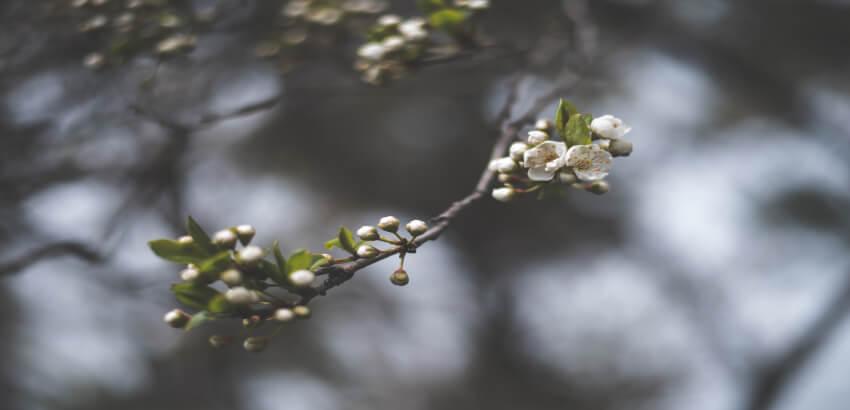 Rośliny miododajne - jabłoń