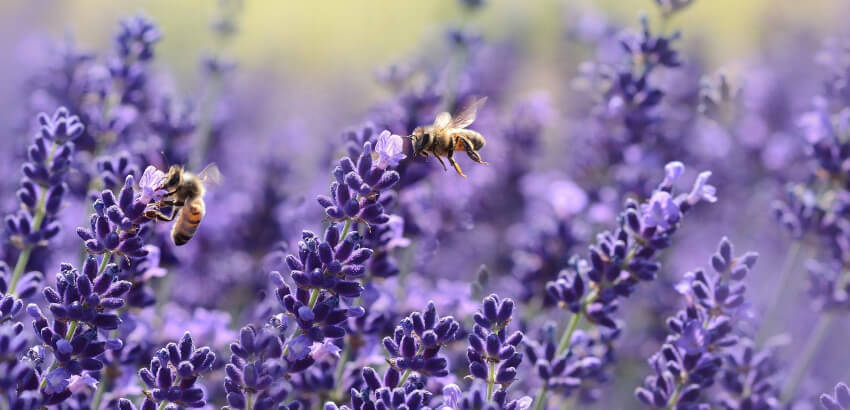 Lawenda - rośliny miododajne dla pszczół