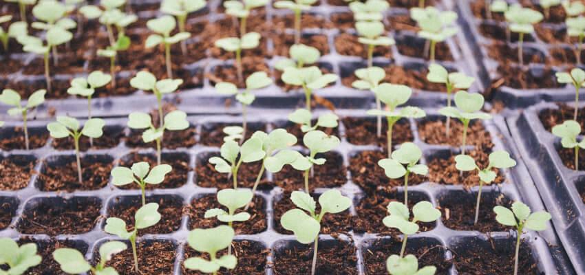 Rozsady warzyw - jak zrobić rozsadę