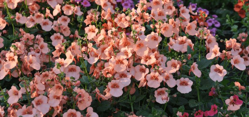 Diaskia - jakie rośliny na balkon