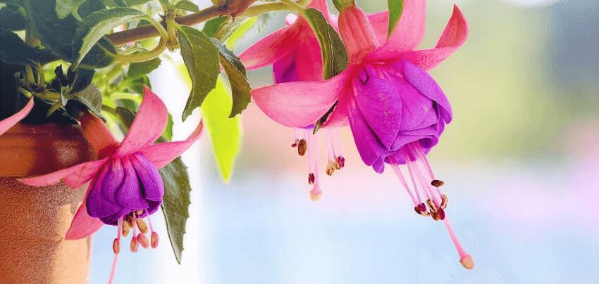 Fuksja - rośliny na balkon