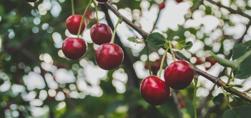 Rośliny latem - drzewa owocowe