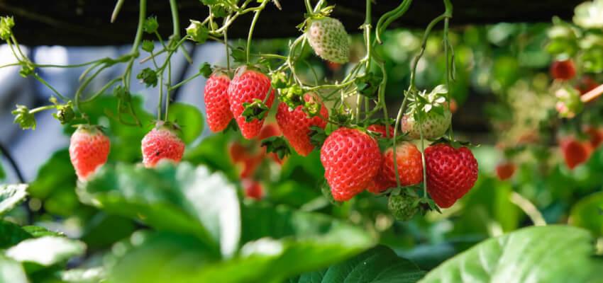 Czerwiec w ogrodzie - truskawki