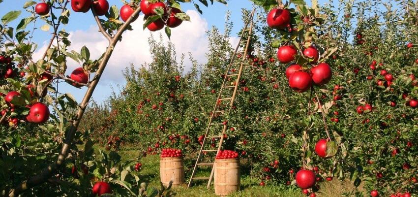 Owocowy sad