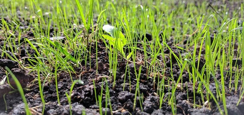 Nasiona trawnika