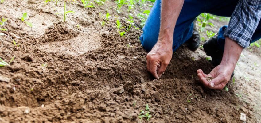 Jak sadzić ogórki do gruntu