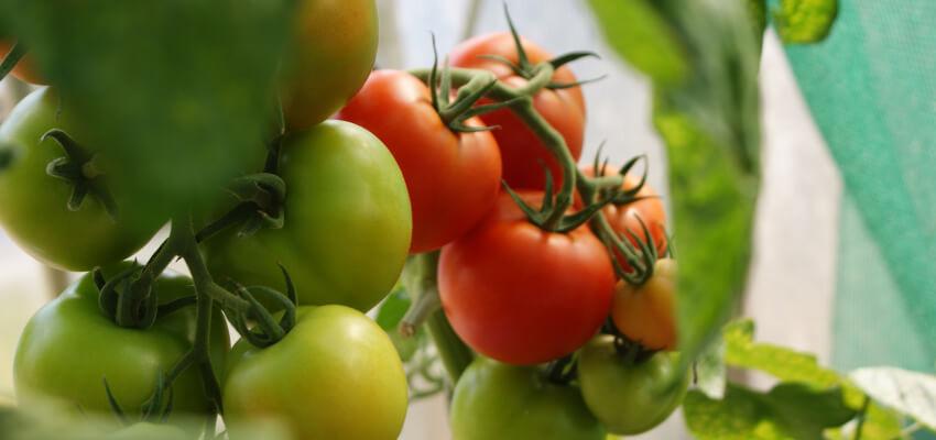 Kiedy i jak sadzić pomidory z nasion do gruntu?