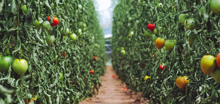 Jak sadzić pomidory - kiedy sadzić pomidory
