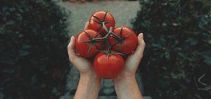 Jak sadzić pomidory - poradnik