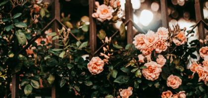 Jak przycinać róże pnące? Jak ciąć róże pnące?